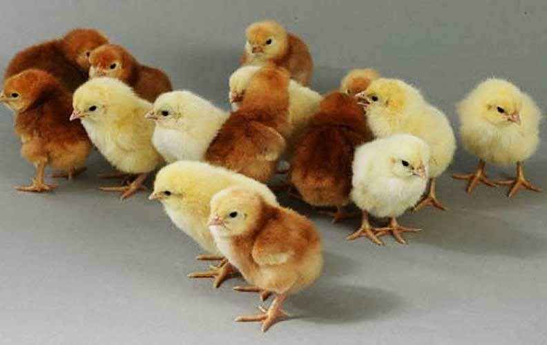 Цыплята браун ник