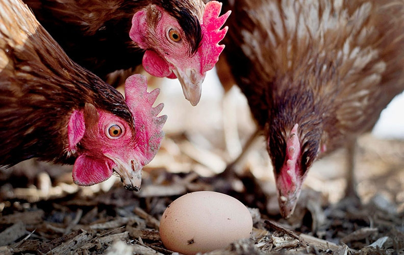 Куры и яйцо
