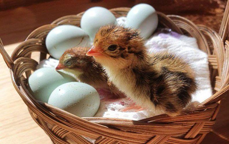 Цыплята и яйца перепелов селадон