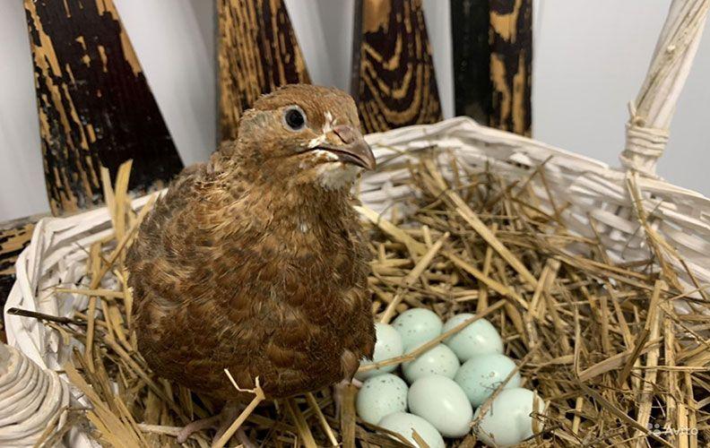Перепелка селадон и яйца