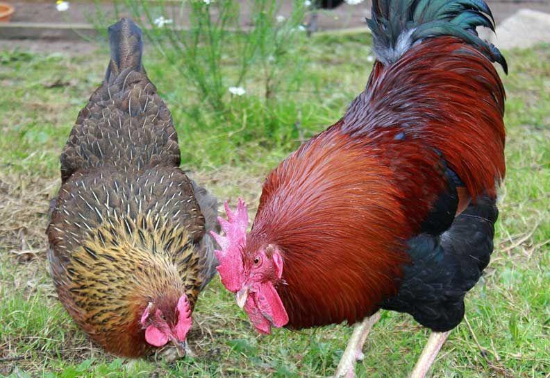 Петух и курица породы вельзумер