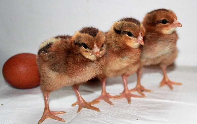 Цыплята вельзумер