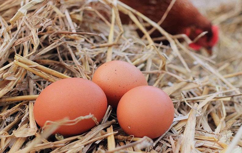 Яйца рыжих бройлеров