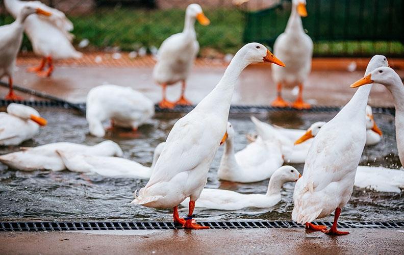 Утки у воды