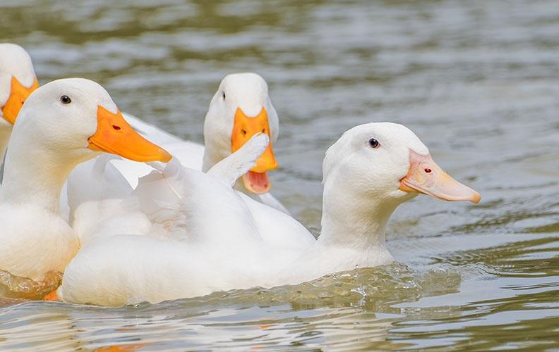 Утки черри-велли на озере