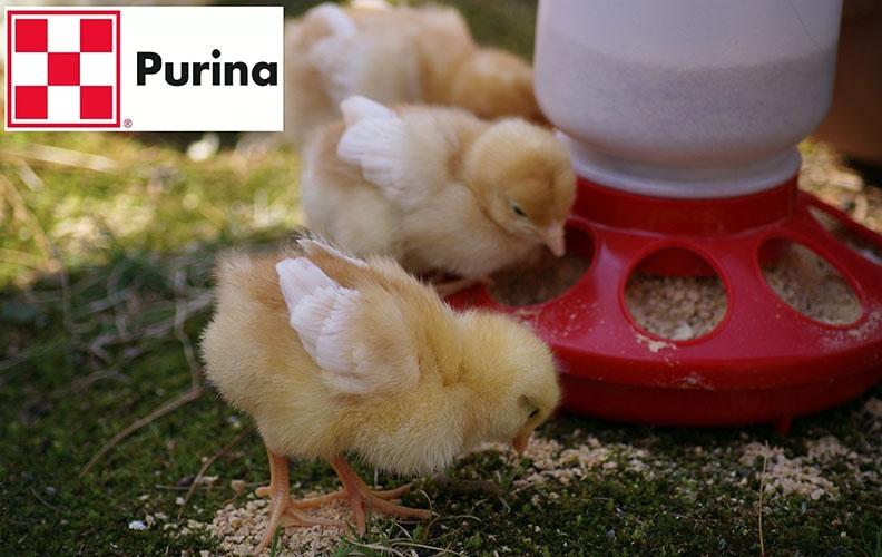 Корм Пурина для цыплят