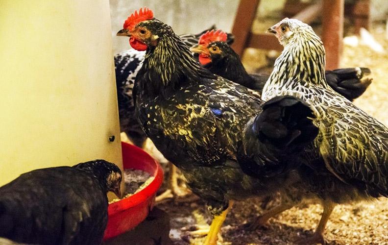 Подросшие цыплята котляревской породы