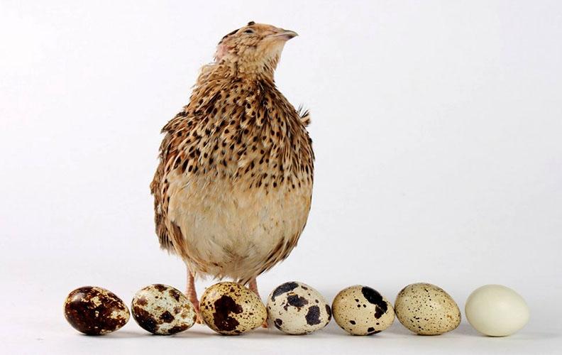 Перепелка и перепелиные яйца