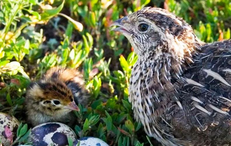 Перепел, птенец и яйца