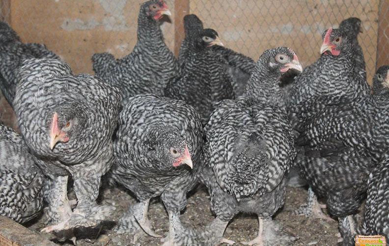 Цыплята мехеленской кукушки