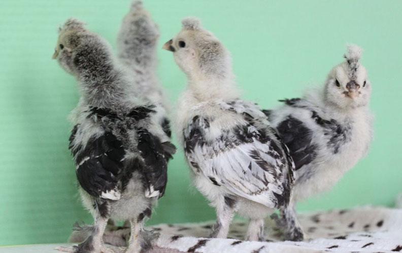 Цыплята мильфлер