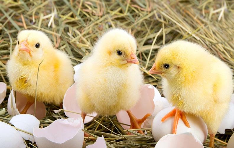 Пробиотики для цыплят