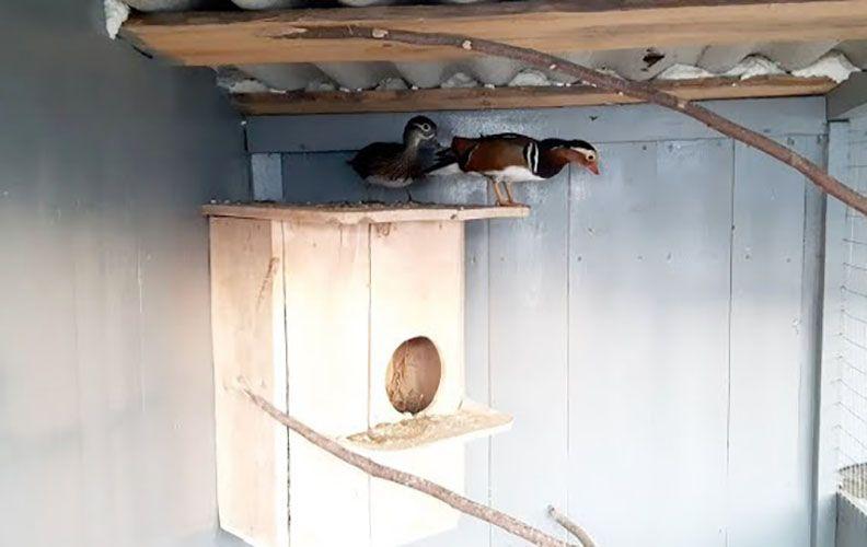 Утки-мандаринки в гнезде