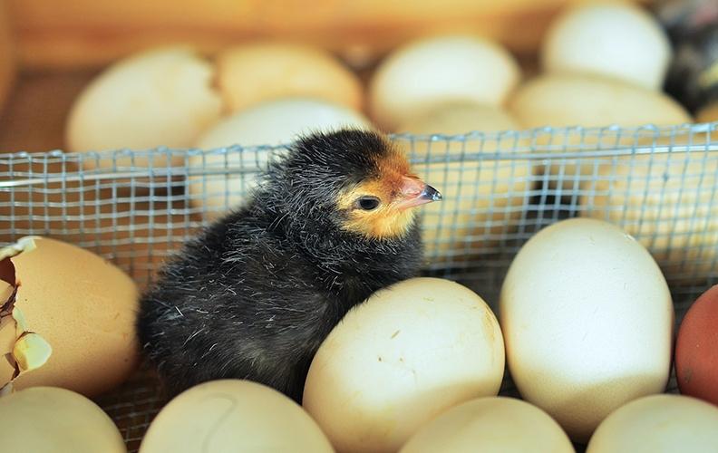 Чёрный цыплёнок в инкубаторе