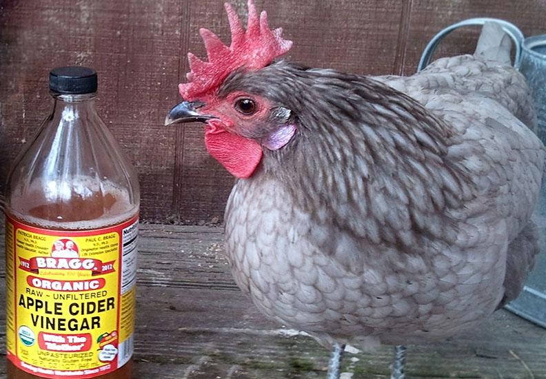 Яблочный уксус для кур