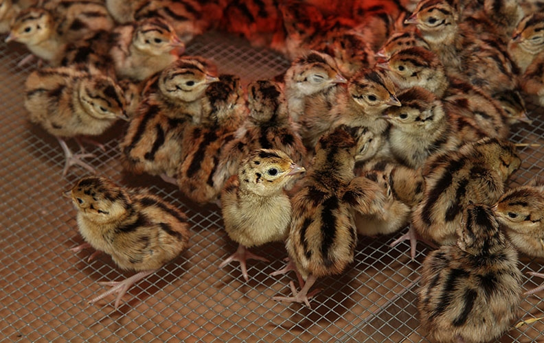 Птенцы фазана