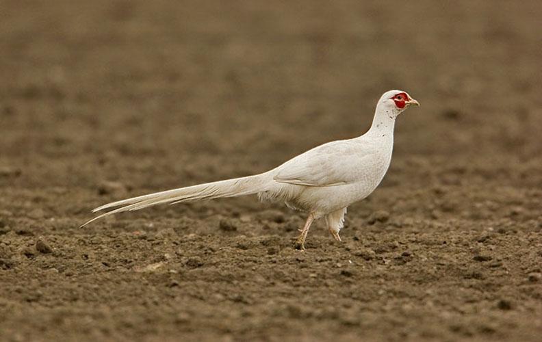 Белый охотничий фазан