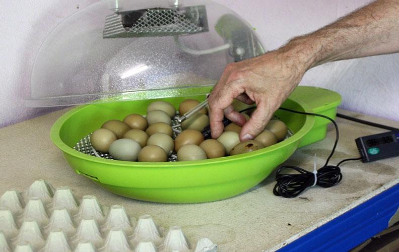 Закладка яиц фазана в инкубатор