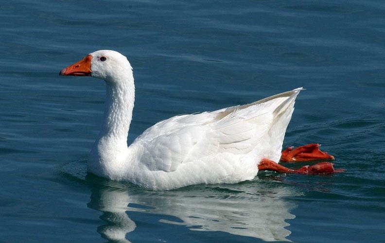 Гусь в озере