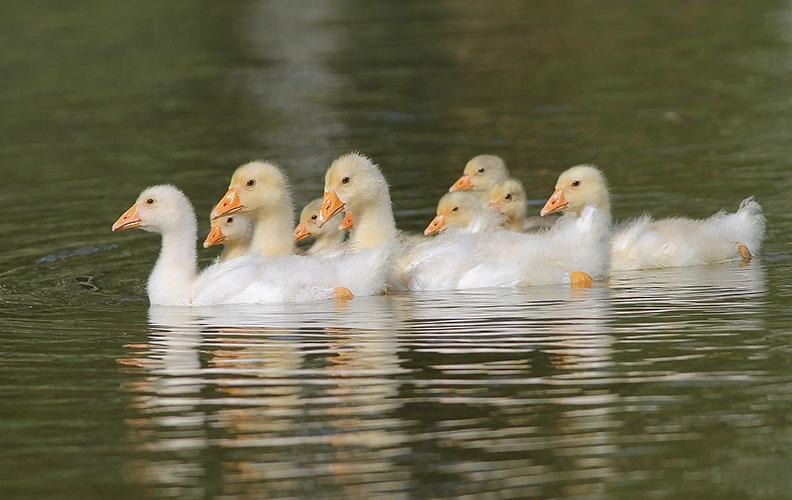 Подросшие гусята в пруду