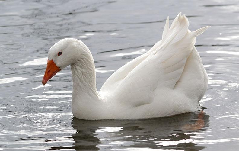 Белый гусь в воде