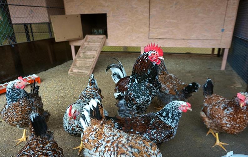 Ливенские куры в птичнике