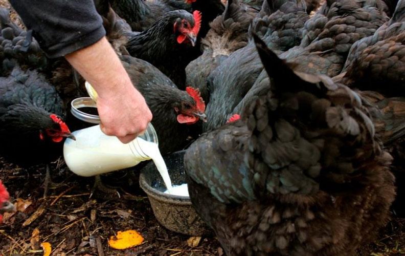 Сыворотка для кур