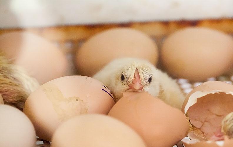 Яйца и цыпленок породы гриз бар