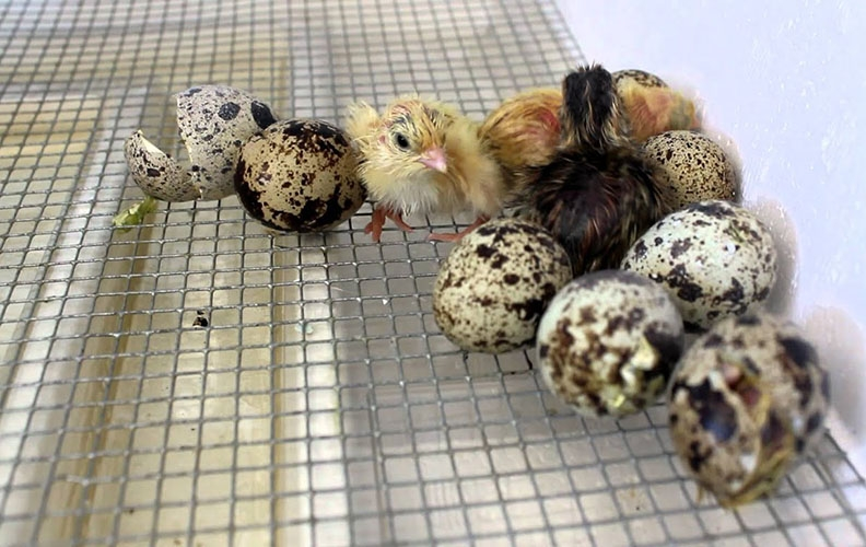 Перепелята и яйца