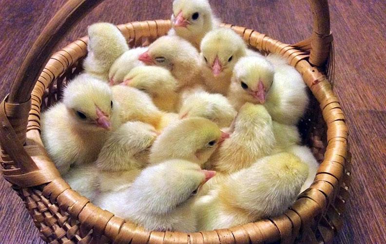 Первомайские цыплята
