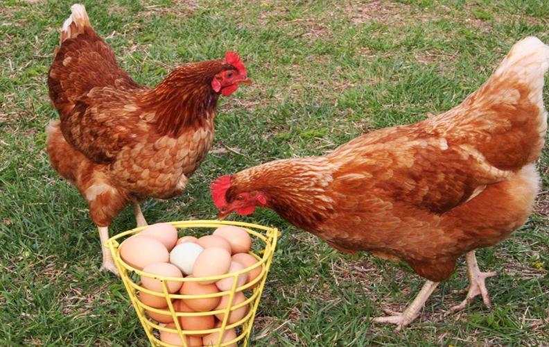 Куры редбро и яйца