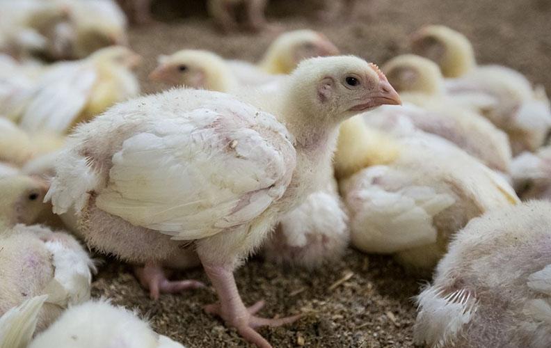 Цыплята росс