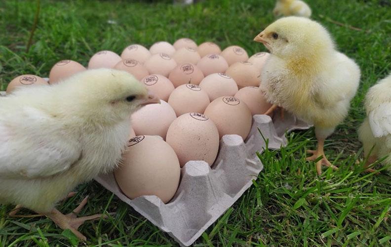 Яйца и цыплята