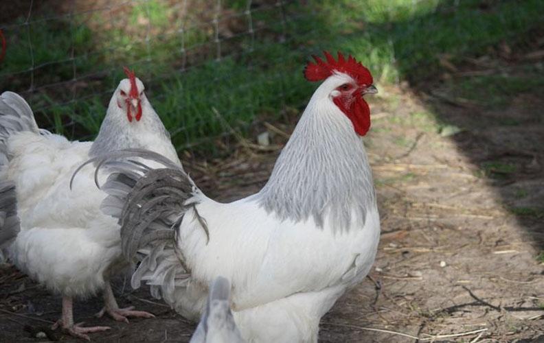 Курица и петух королевский суссекс