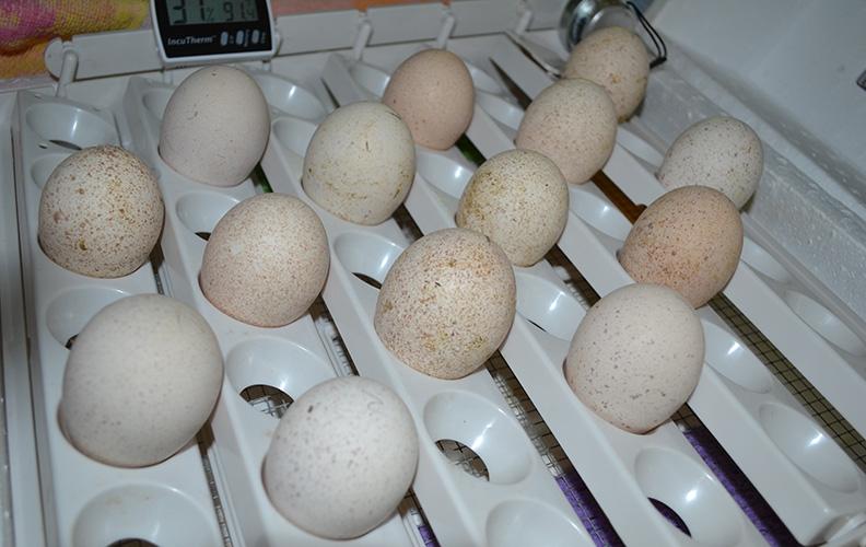 Яйца индюшки в инкубаторе