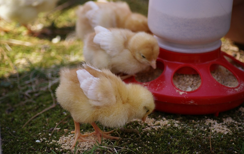 Старт для цыплят