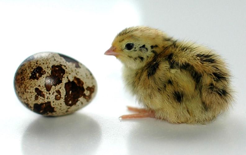 Перепеленок и яйцо