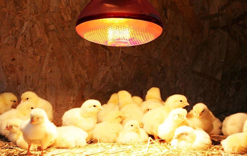 Освещение и обогрев для цыплят
