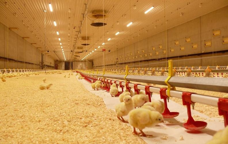 Освещение для цыплят на ферме