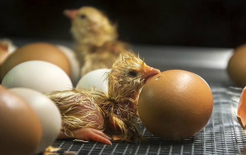 Цыплёнок в инкубаторе