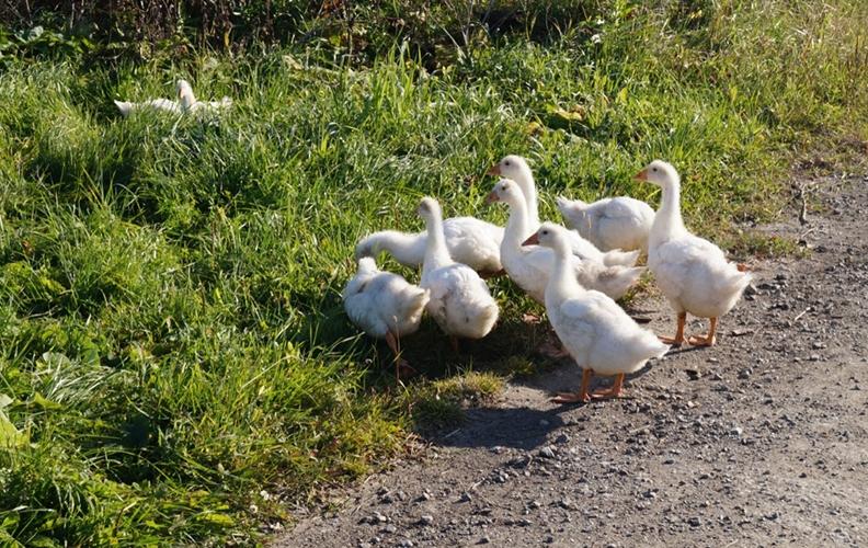 Подросшие белые уральские гусята