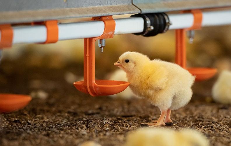 Пропаивание цыплят