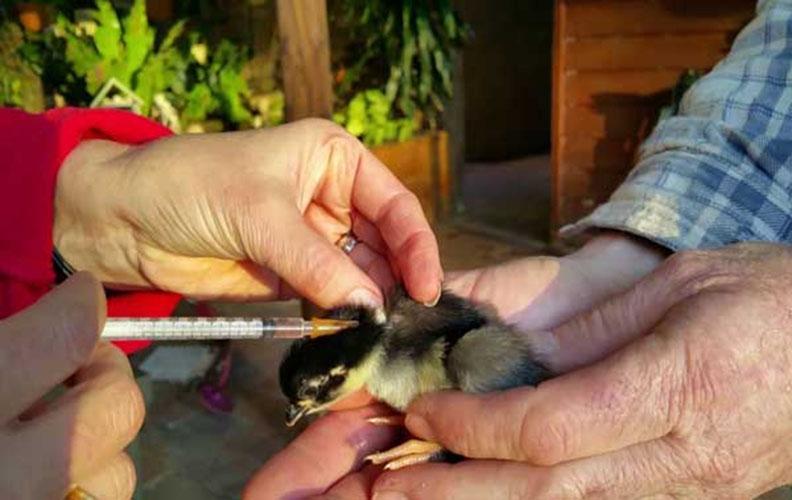 Вакцина цыплятам