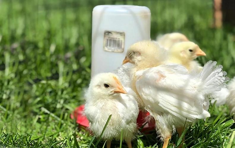 Цыплята на лужайке
