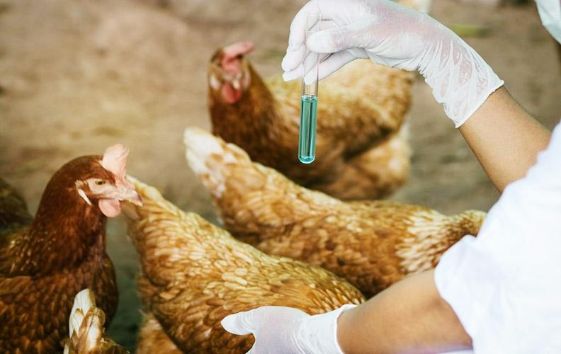 Антибиотики для кур-несушек