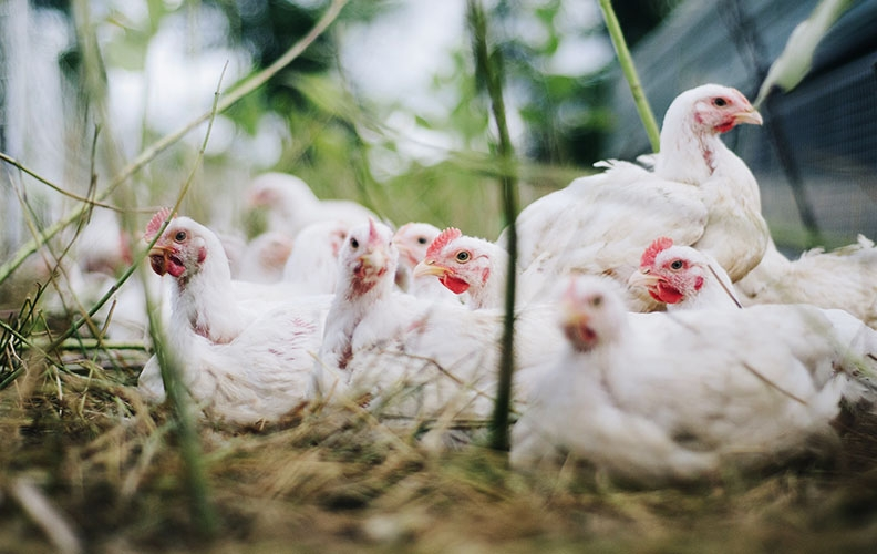 Бройлерные цыплята в домашних условиях