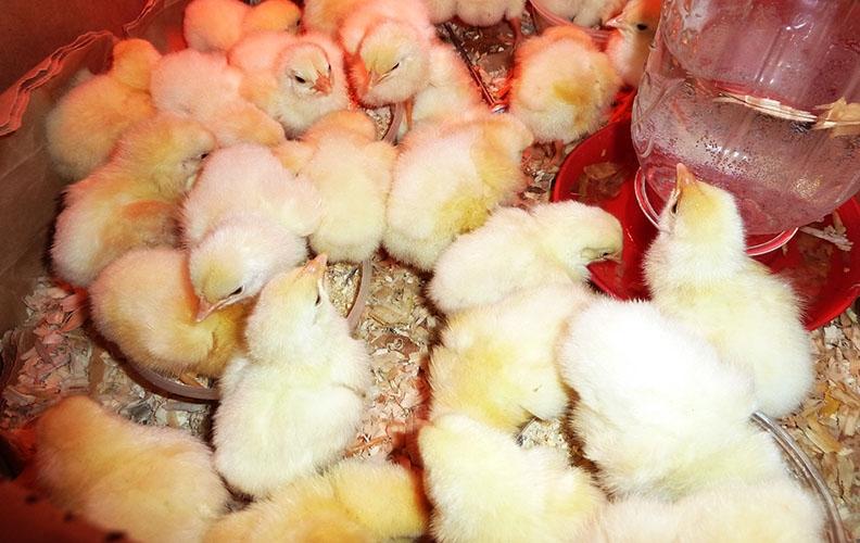 Пропойка цыплят
