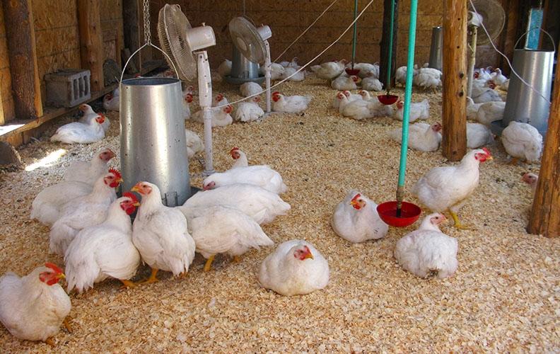 Птичник для цыплят-бройлеров