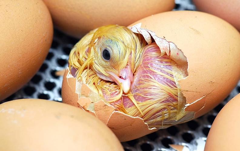 Помощь цыплёнку