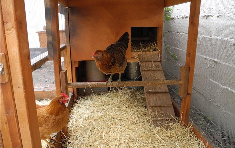 Курица на насесте